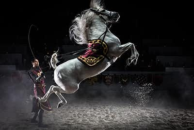 A beautiful white stallion with a saddle colored royal red and gold, leaping on its hind legs as a man in the Medieval Times show stands to the stallions side, wearing matching colors.